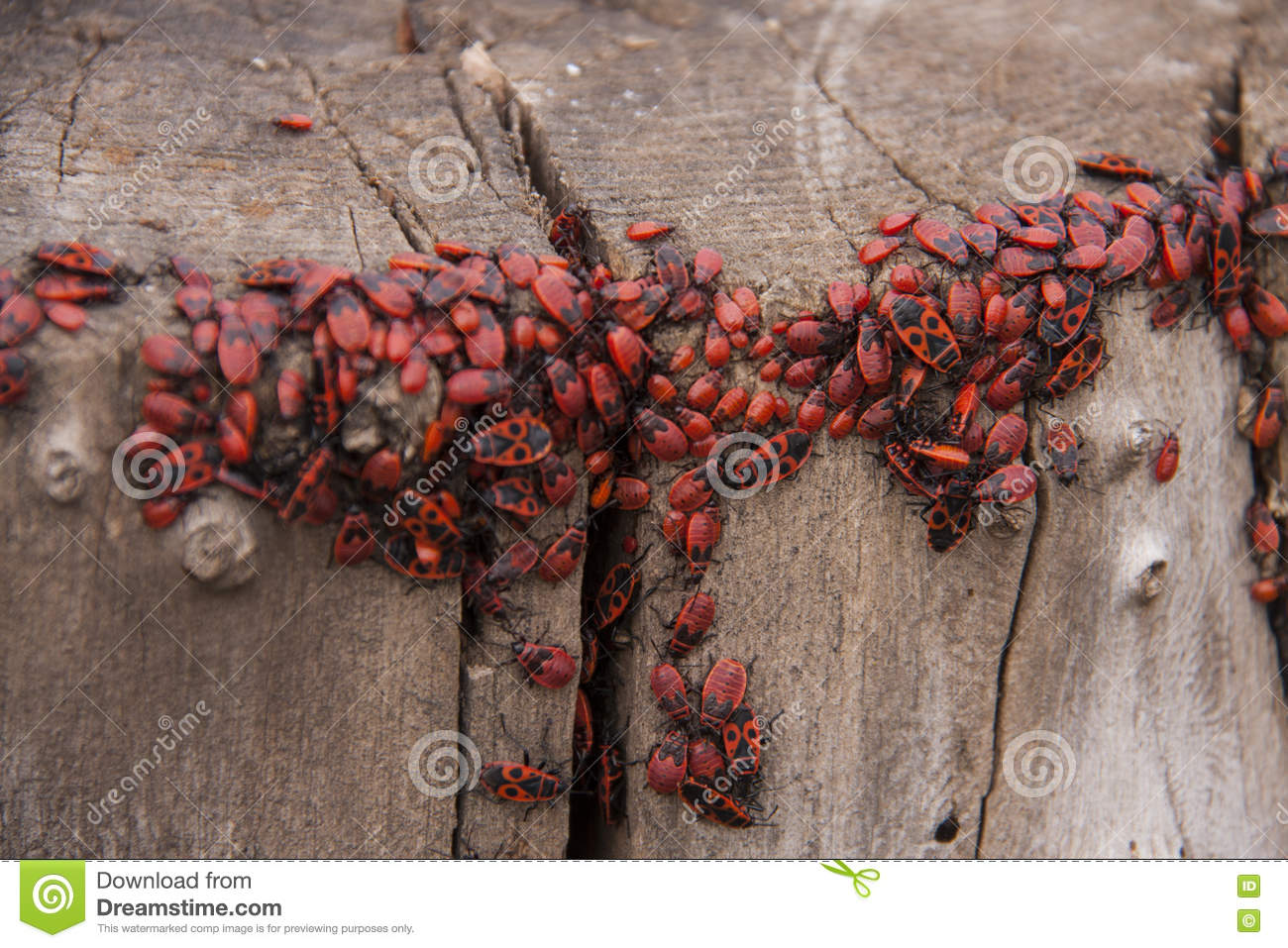 pyrrhocoris apterus oder wanze soldaten auf einem baum rot schwarze k fer stockbild bild von. Black Bedroom Furniture Sets. Home Design Ideas