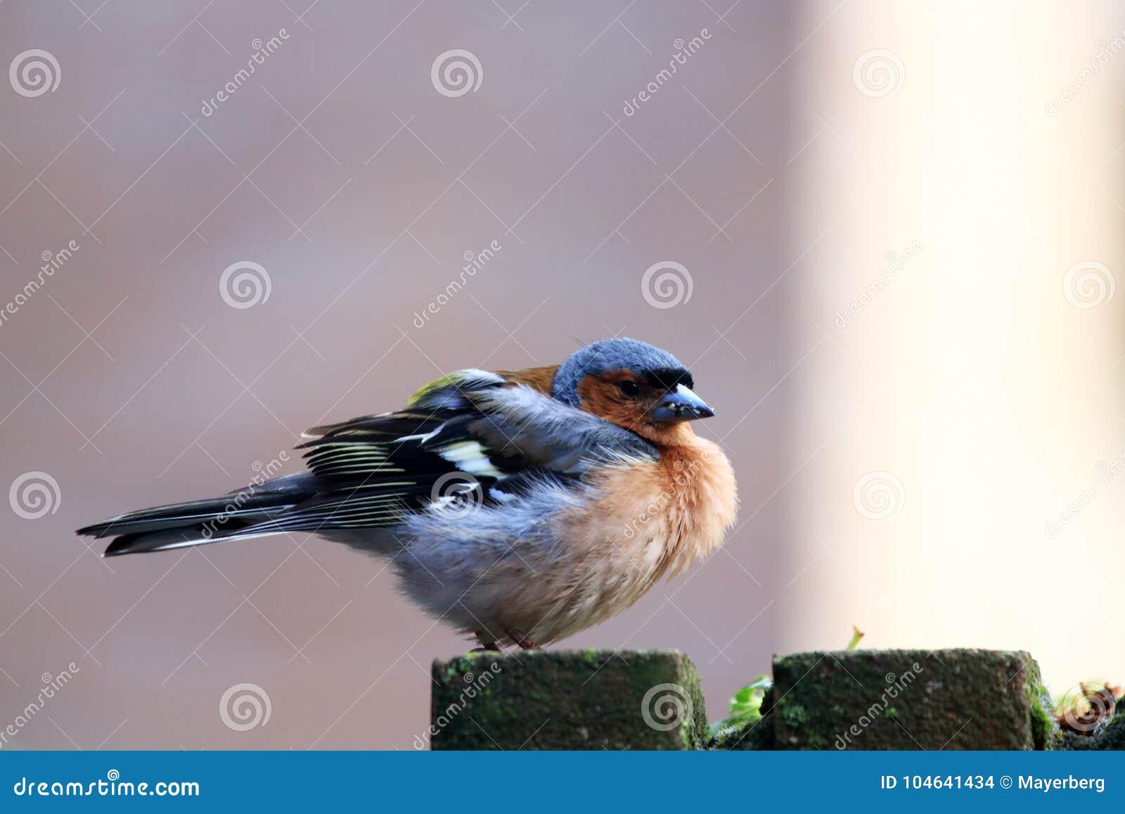 Download Pyrrhula Van Goudvinkpyrrhula Is Een Kleine Vogel Stock Foto - Afbeelding bestaande uit schoonheid, weinig: 104641434