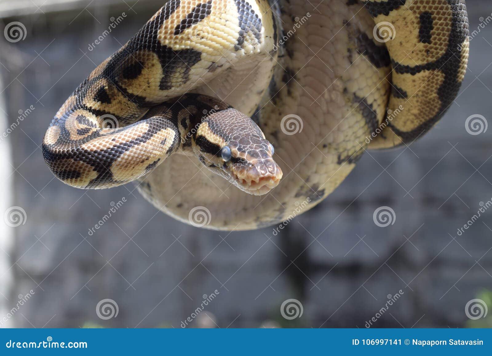 Python de boule