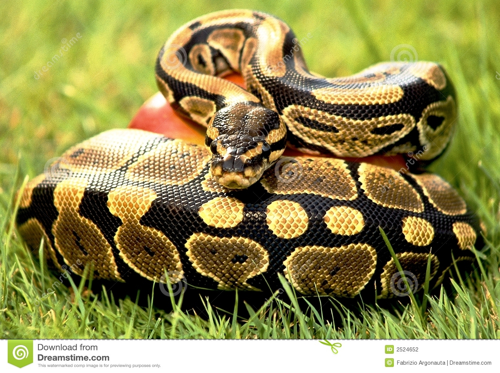 python de serpent photo stock image du vert rouge chelles 2524652. Black Bedroom Furniture Sets. Home Design Ideas