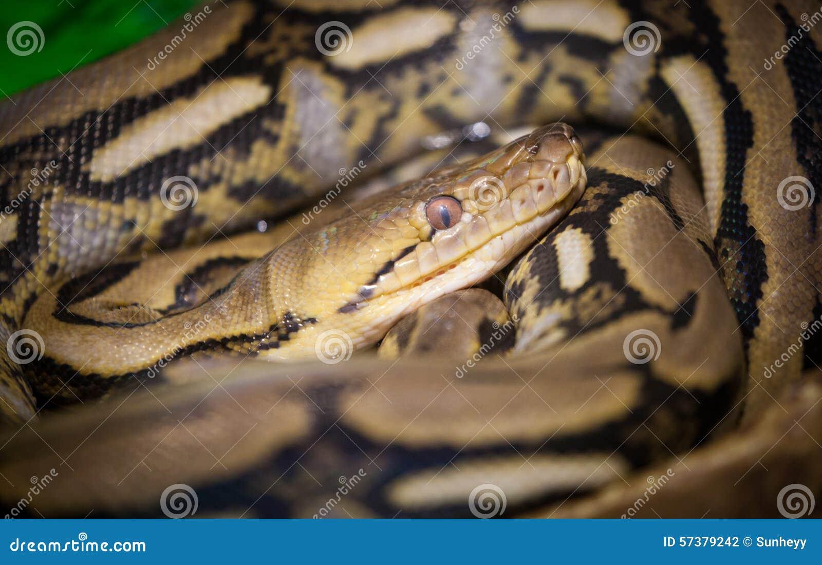 Python met een netvormig patroon