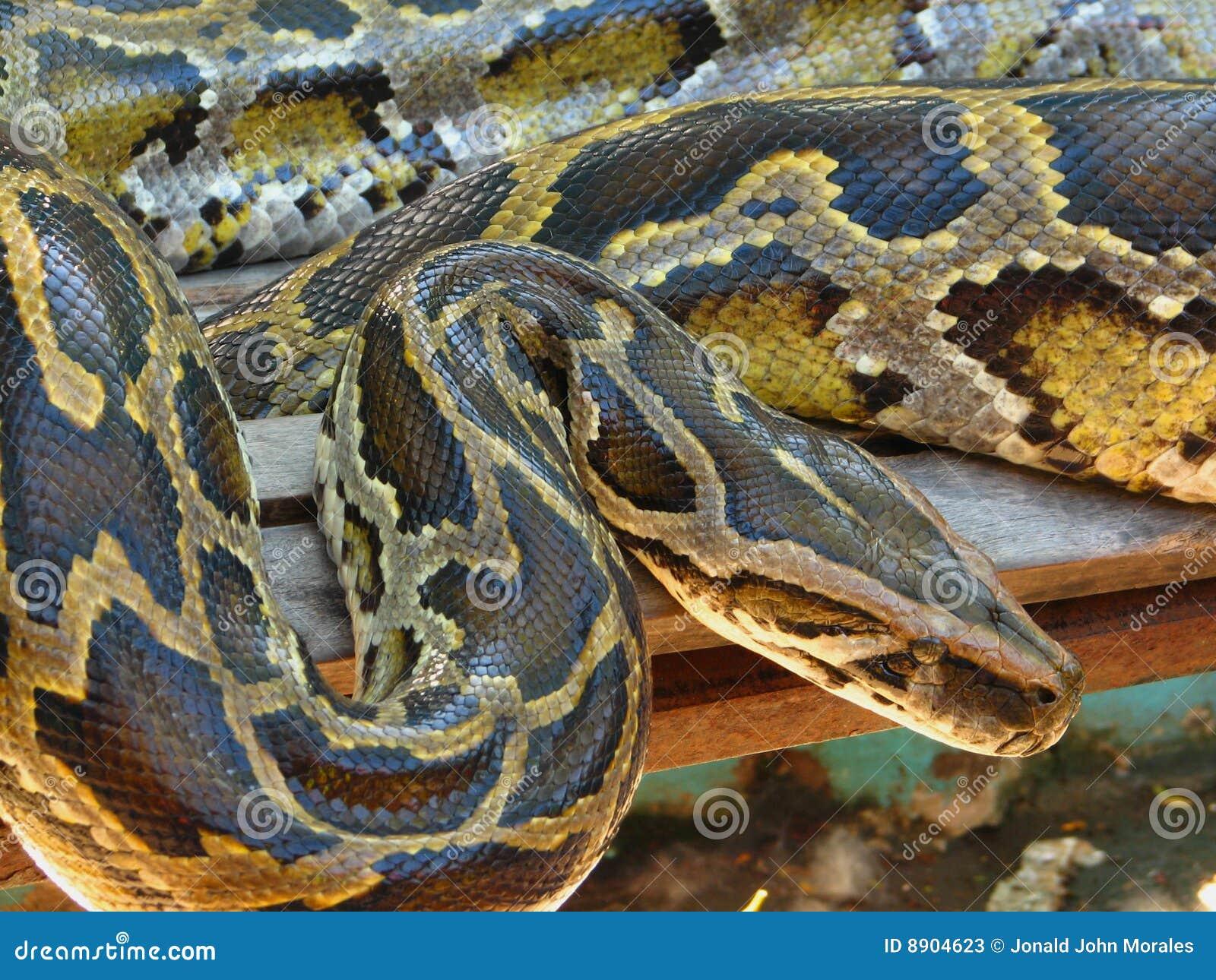 Pythonschlange-Boa constrictor