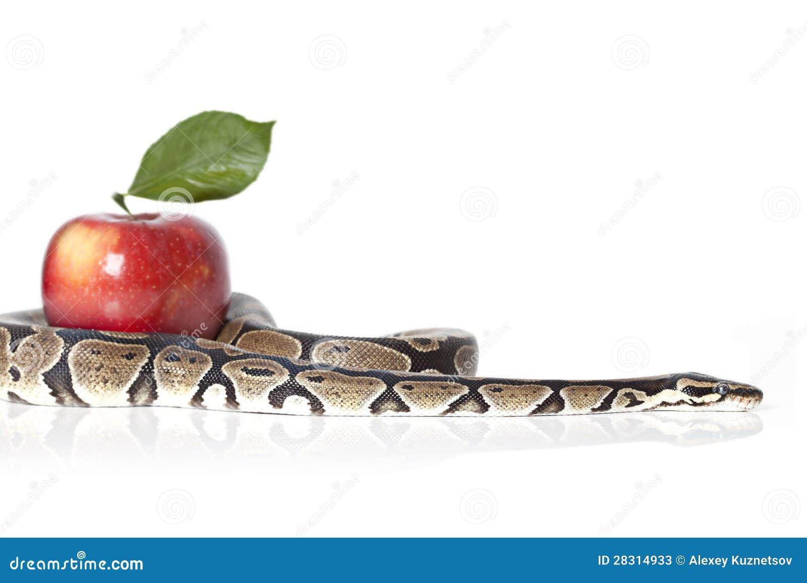 Pythonschlange mit rotem Apfel