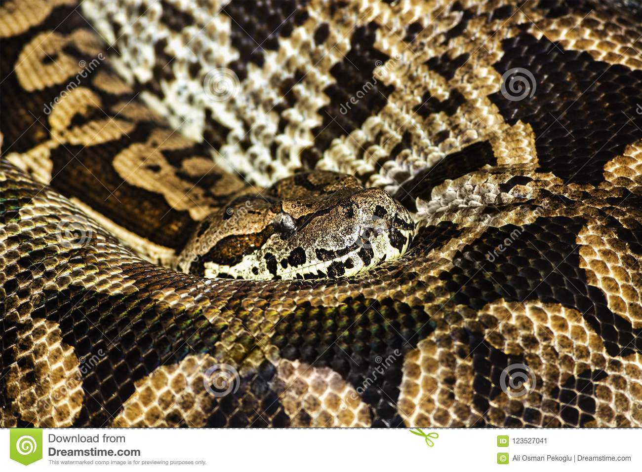 pyton the longest snake in the world quietly asleep curled into a