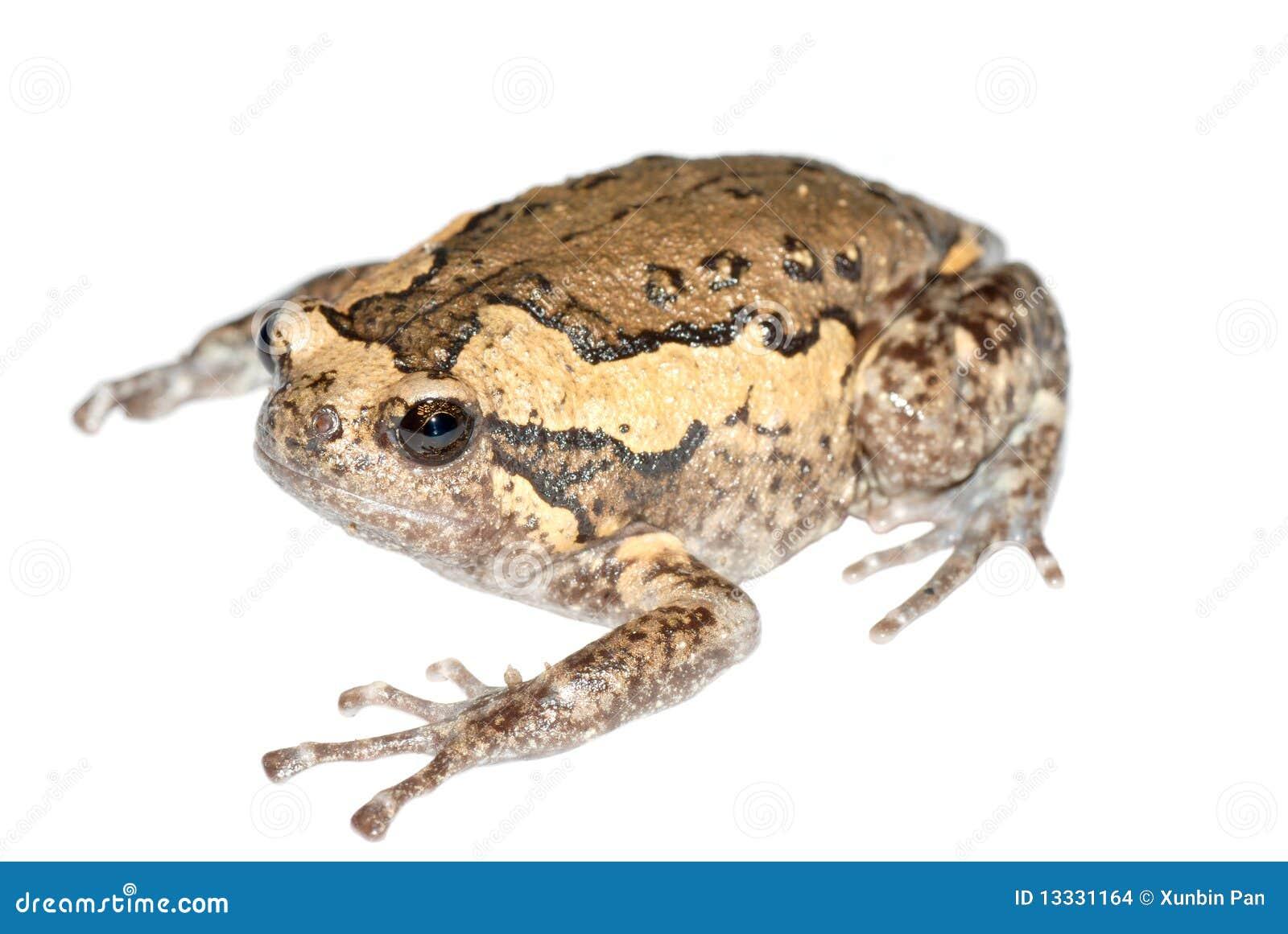 Pyzata żaba