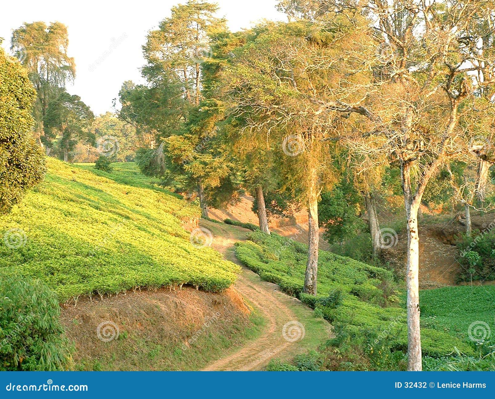 Qaint path between tea fields