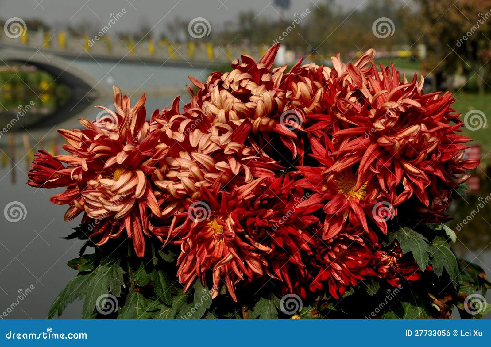 Qingbaijiang, China: Chrysantheme-Blumen