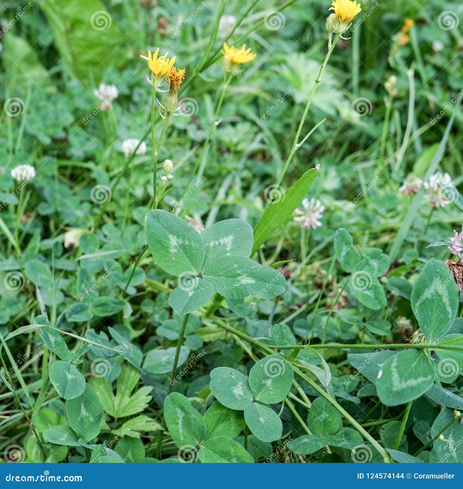 Fiori Quadrifoglio.Quadrifoglio Fotografia Stock Immagine Di Flora Fiori 124574144