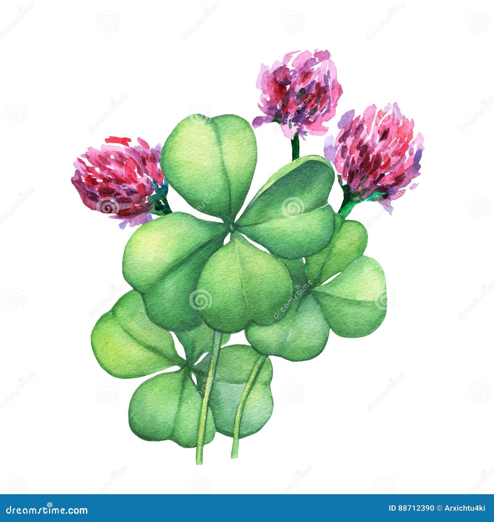 Quadrifoglio verde con i fiori rosa Pittura disegnata a mano  dell\u0027acquerello sul fondo bianco
