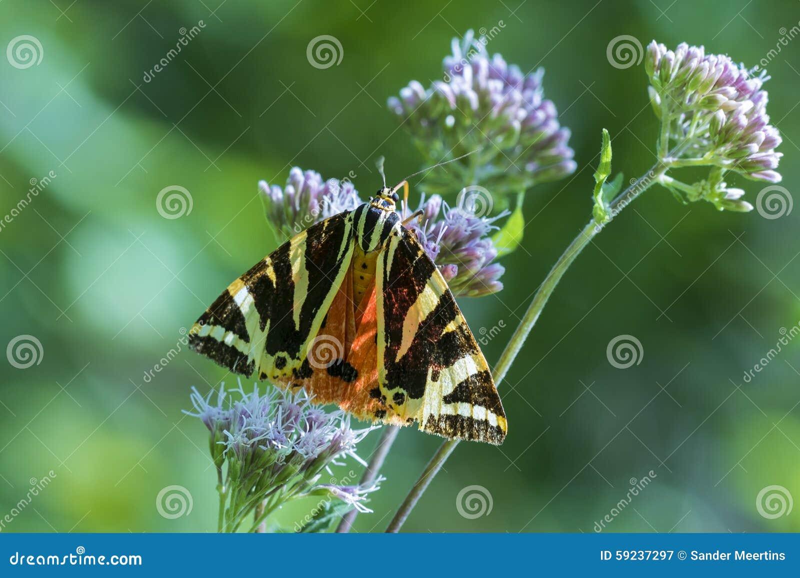 Quadripunctari de Euplagia de la polilla de tigre del jersey
