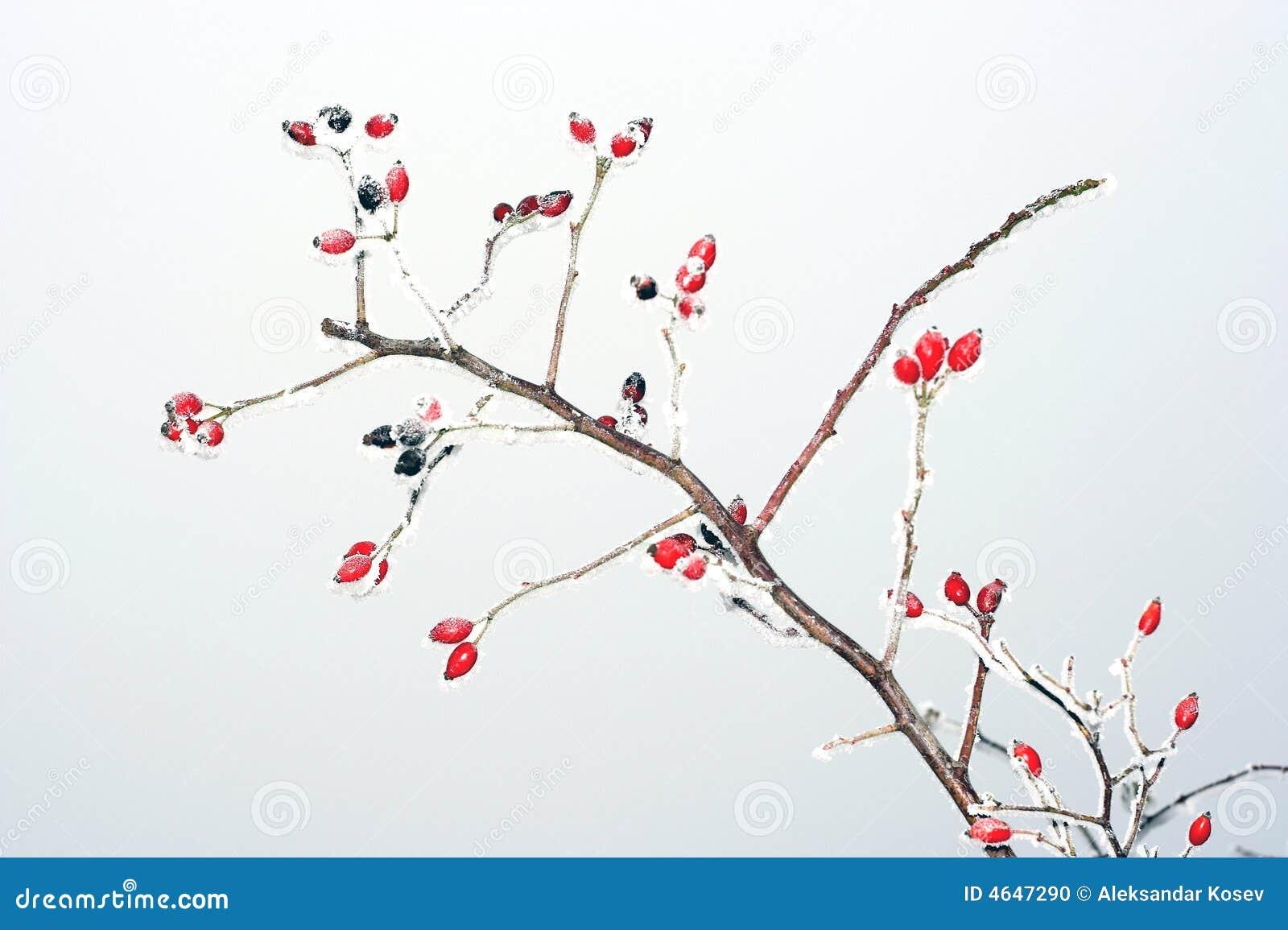 Quadris de Rosa no inverno