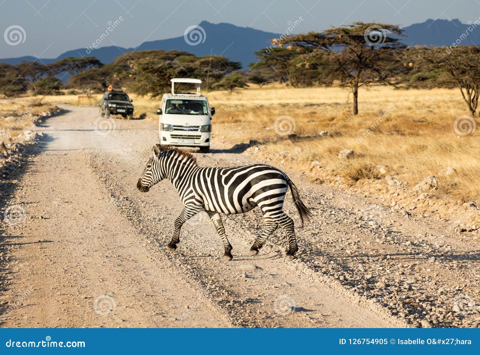 Quagga de la cebra, del Equus, camino de tierra que cruza en sabana con los vehículos del safari, árboles del acacia, y paisaje a