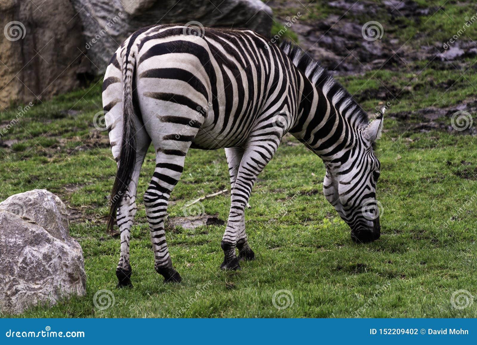 Quagga prisioneiro do Equus da zebra das planícies