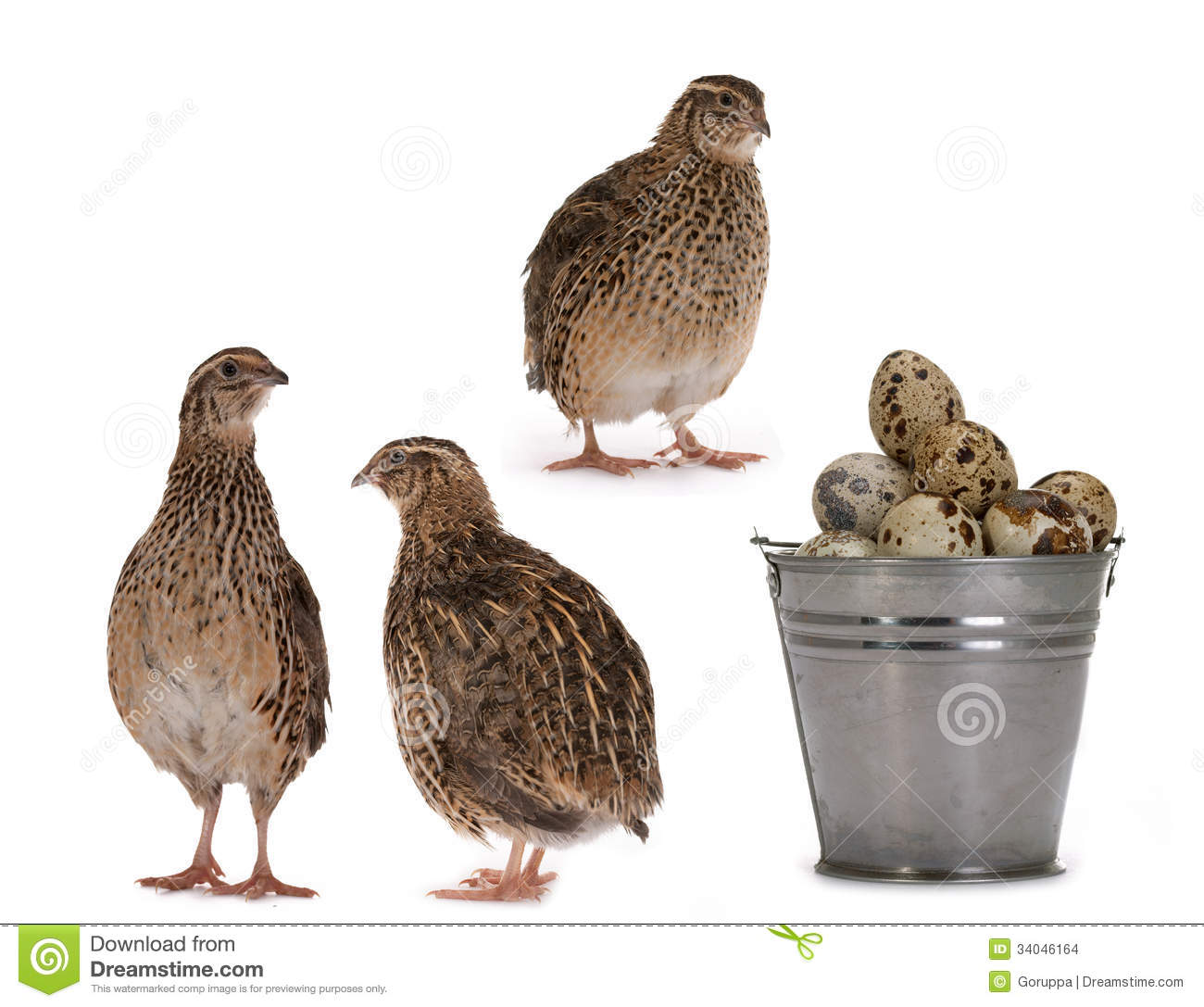 Japanese quail on a white background. A bird that lays the Golden eggs ...