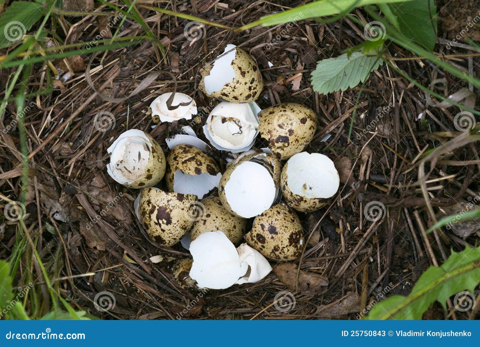Quail nest stock image...
