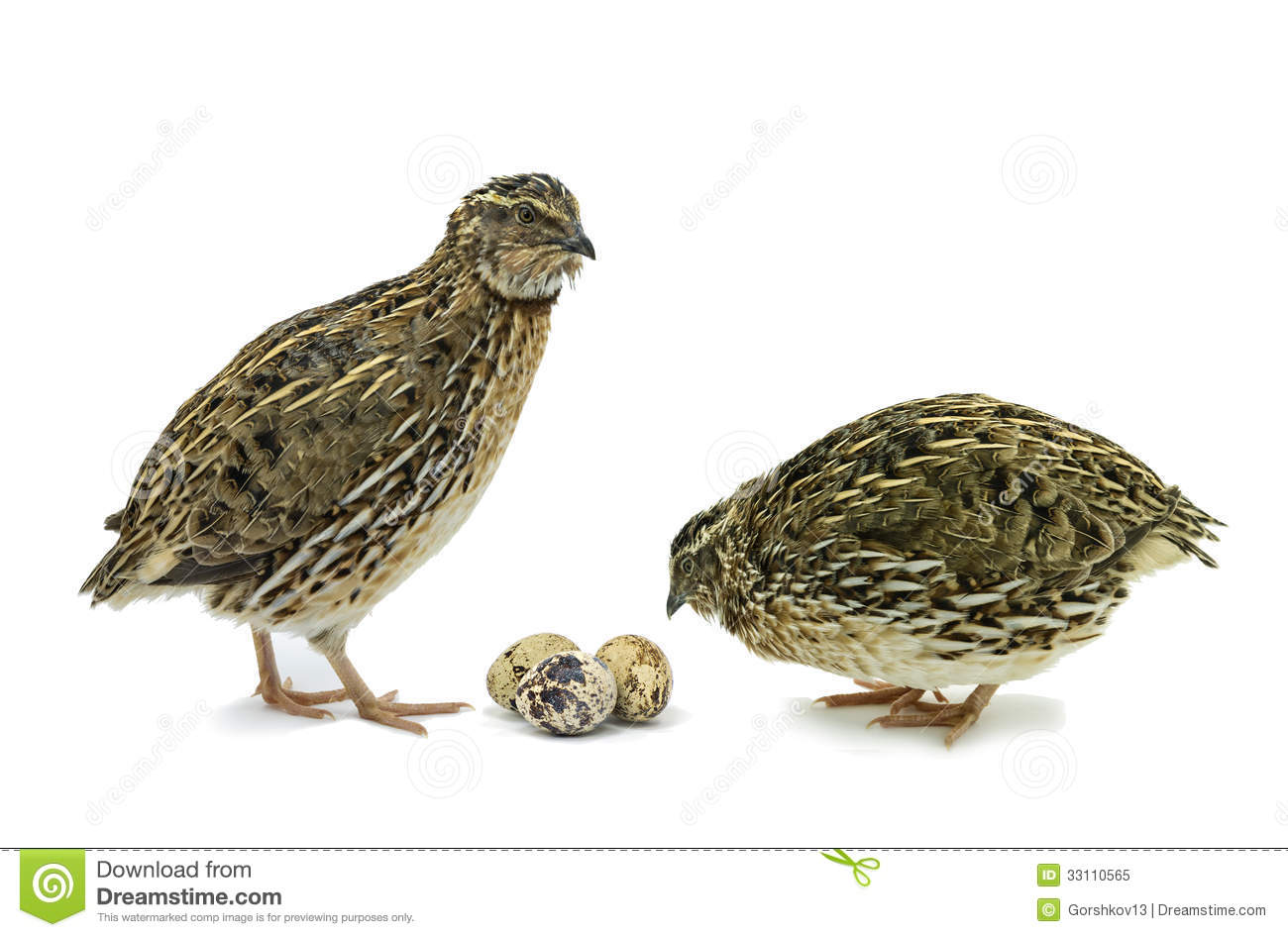 Quails With Eggs Isolated On White Royalty Free Stock Photo - Image ...
