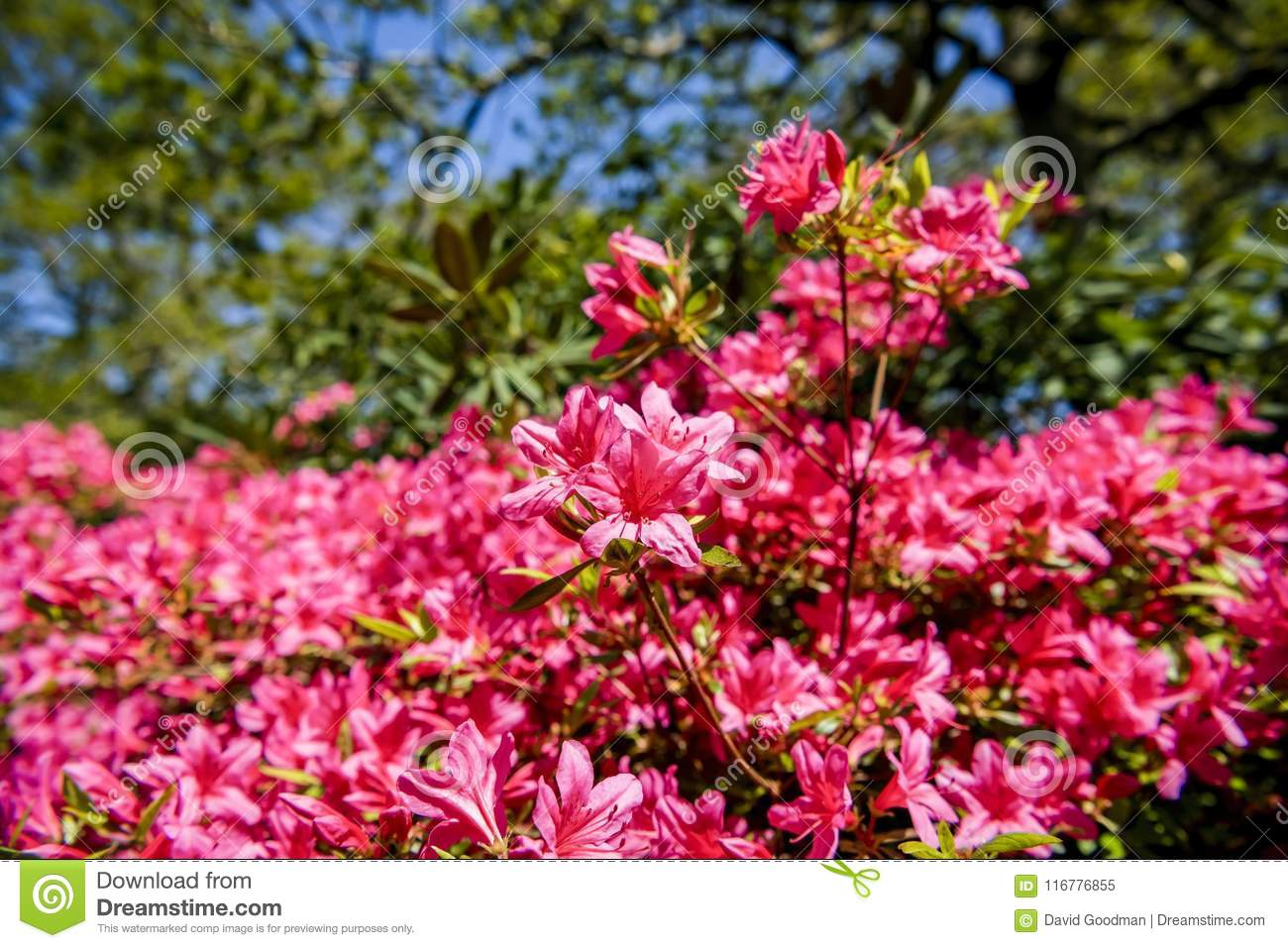 Azaleas Flowers On A Spring Day In An English Garden Stock Image