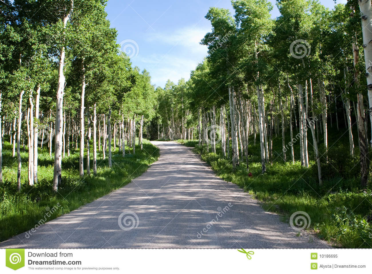 Download Quaking Aspen Trees Along Road Stock Image - Image of sunshine, outdoors: 10186695