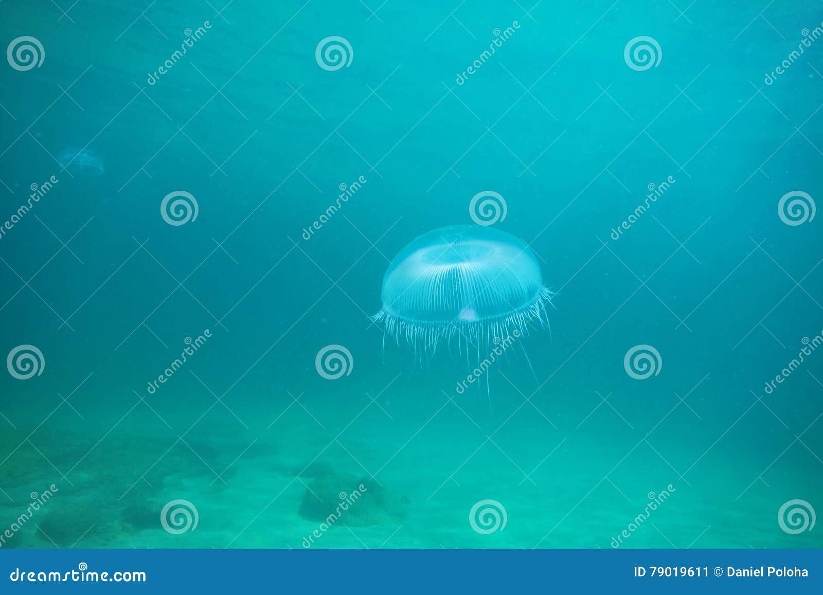 Quallen, die im blauen Wasser schweben