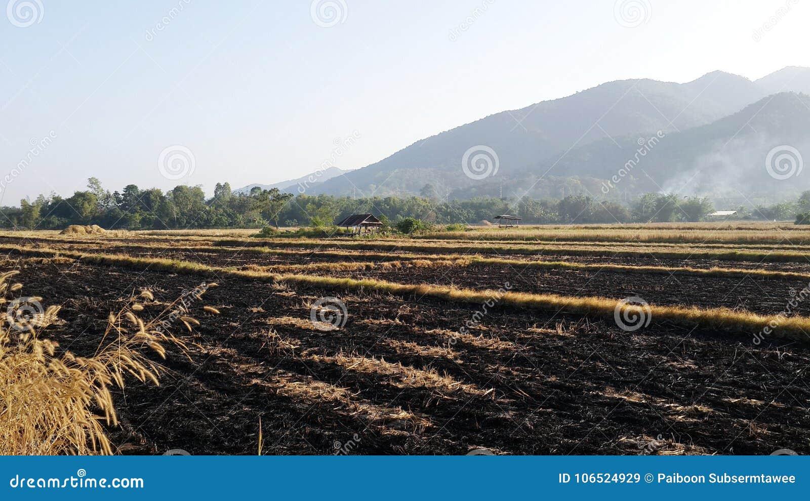 Quando il riso è raccolto, le erbacce sono bruciate