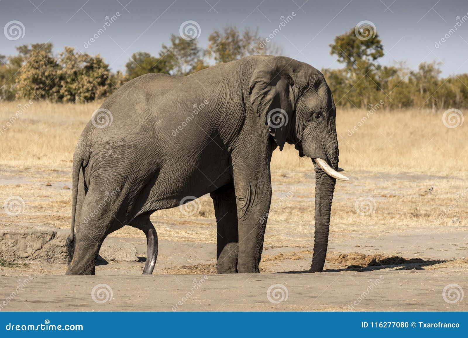 quanto grande è un pene elefanti nero lesbiche infermiera