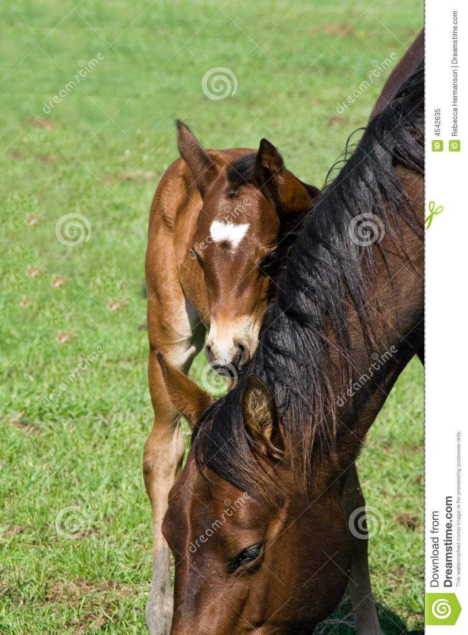Quarter Horse Mare And Foal Royalty Free Stock Photo ...