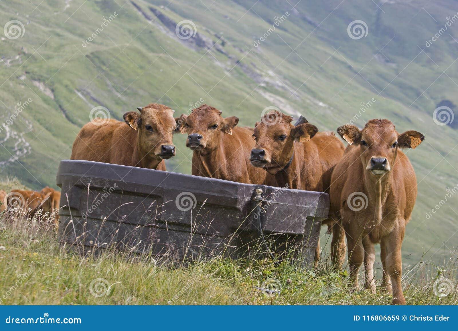 Quartetto della mucca su un prato della montagna