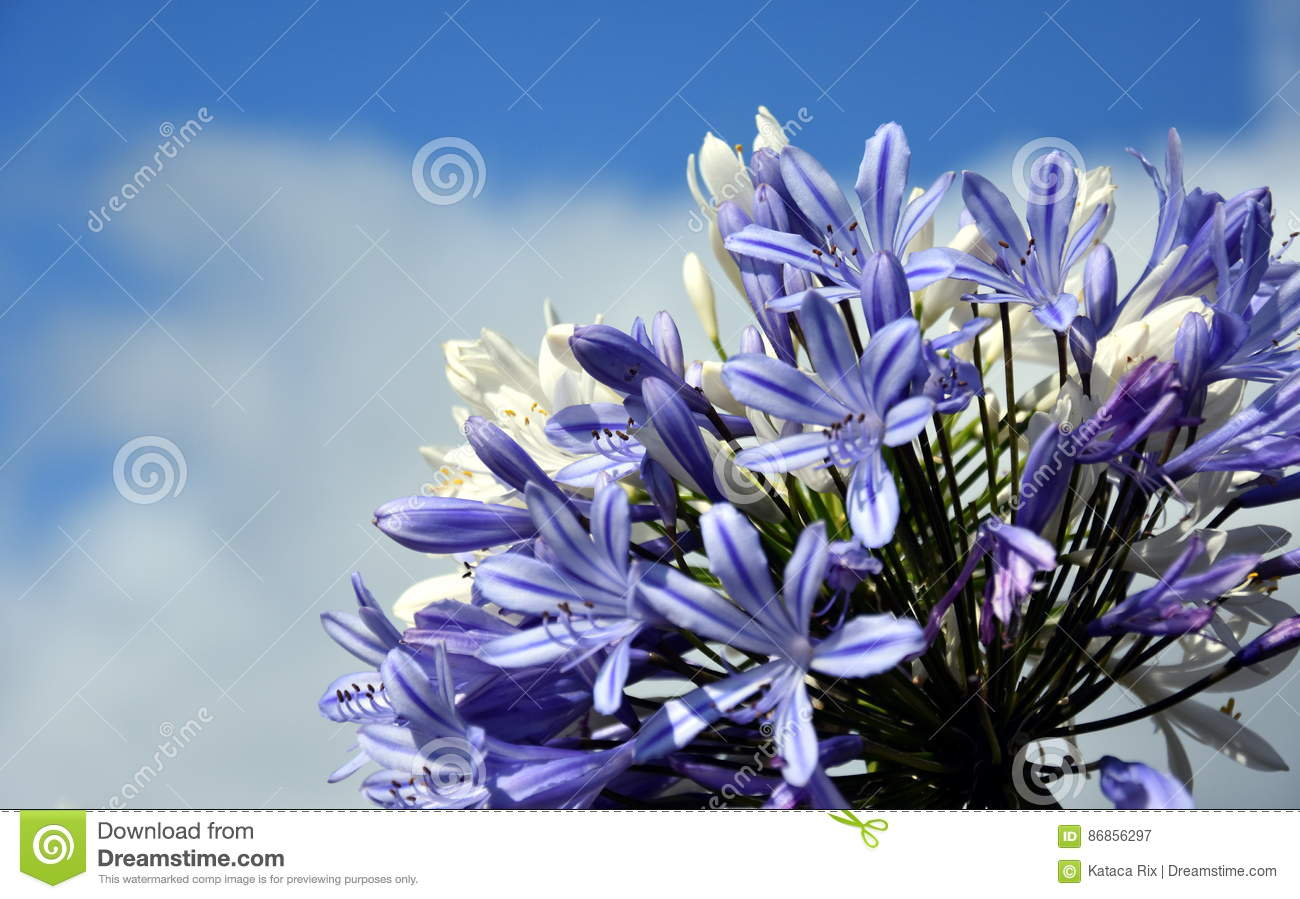 Quater of lily of the nile also called african blue lily flower download quater of lily of the nile also called african blue lily flower stock image izmirmasajfo