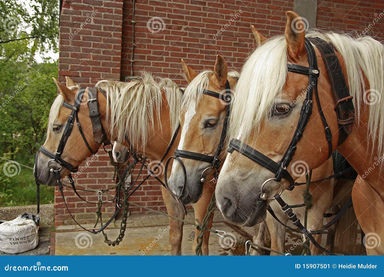 Quatre chevaux de haflinger