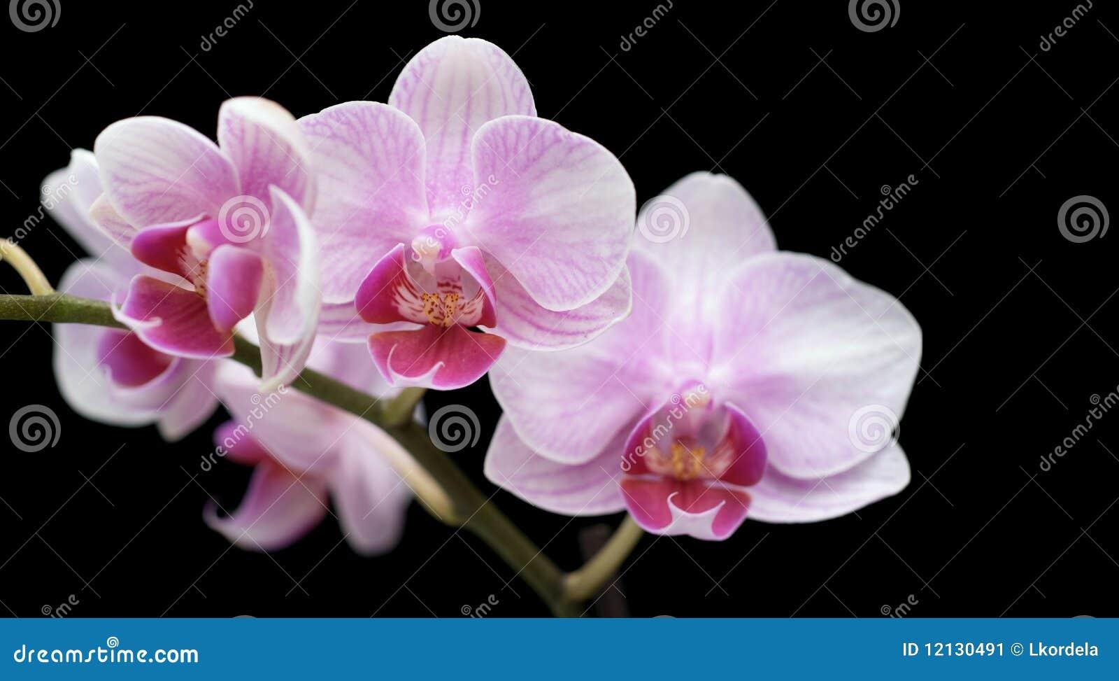 Quatre fleurs d orchis sur le noir