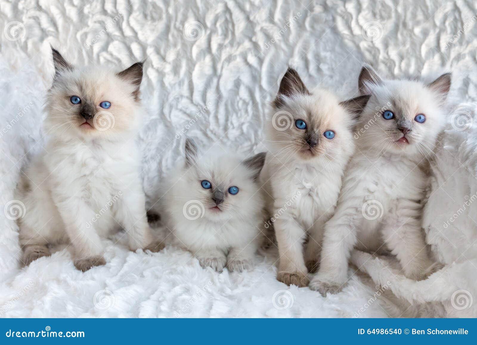 Quatre jeunes chats de Ragdoll se reposant dans une rangée