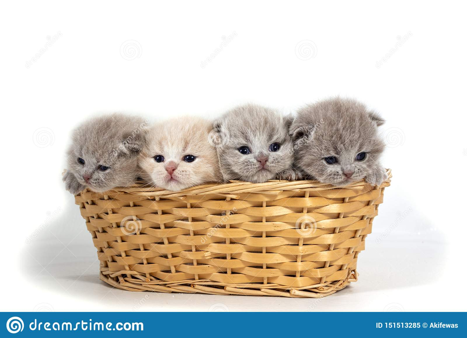 Quatre petits chatons britanniques se reposent dans un panier en osier D isolement sur le fond blanc