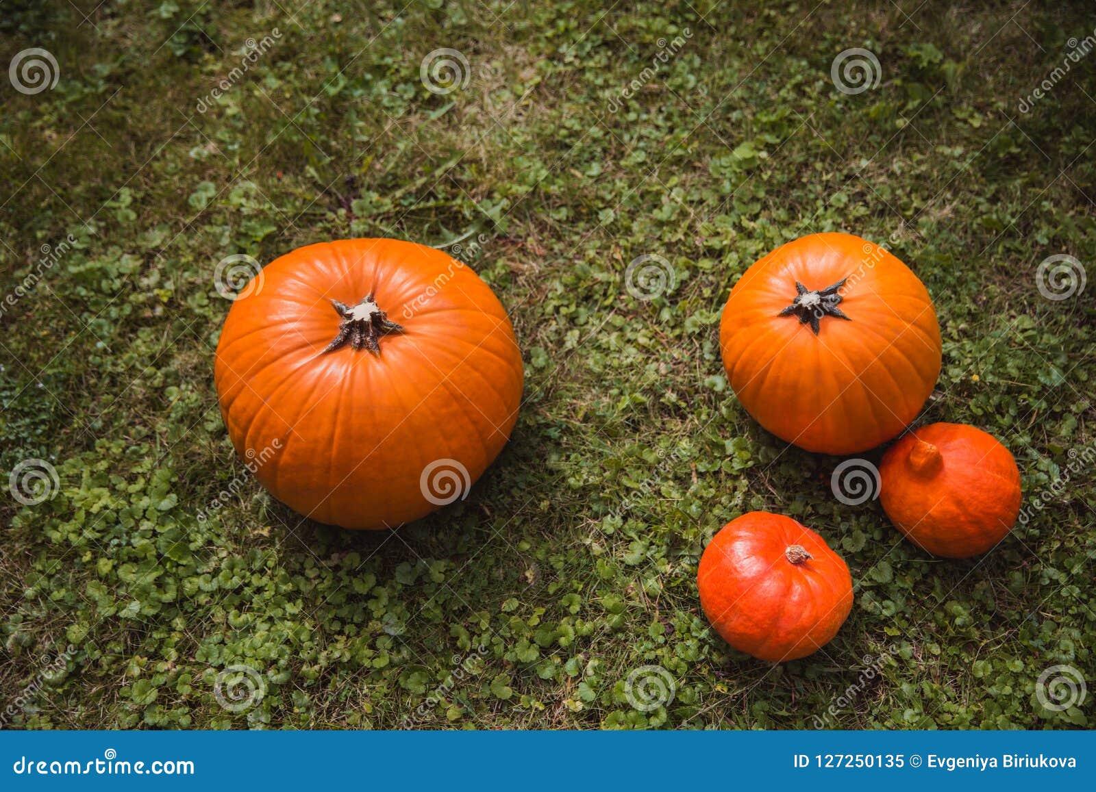 Quatro abóboras alaranjadas colhem o encontro na opinião de ângulo alto colocada plano da grama verde outono