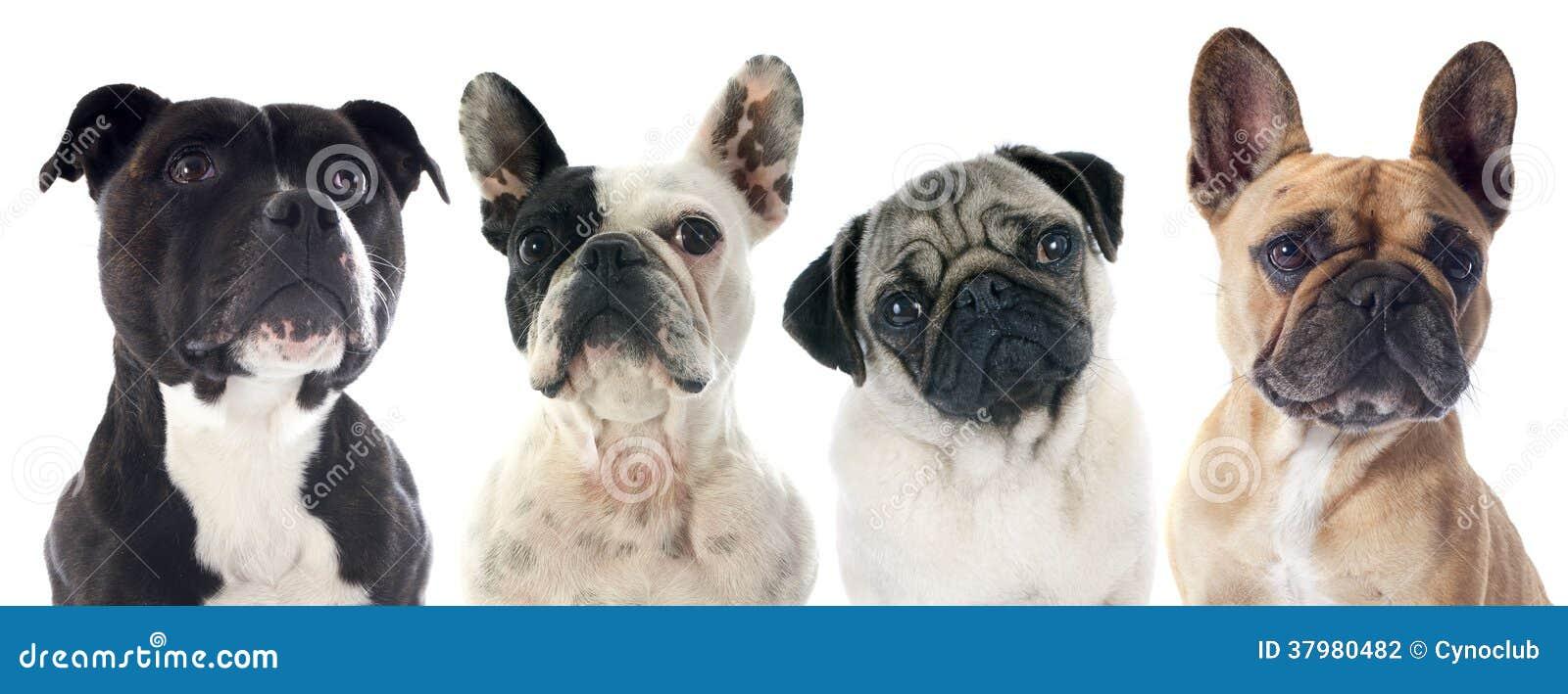Quatro cães