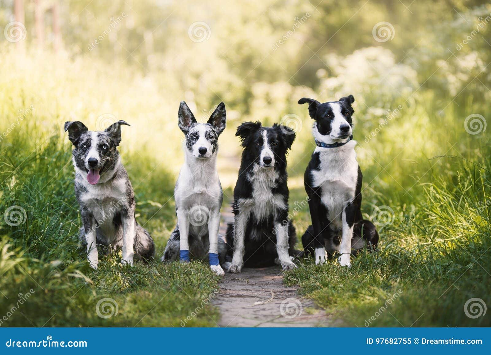 Quatro cães border collie no verão