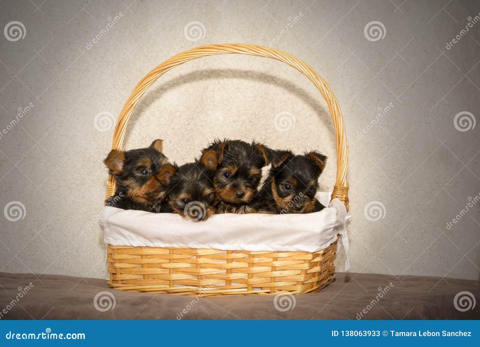 Quatro cachorrinhos do yorkshire terrier em uma cesta do wicket