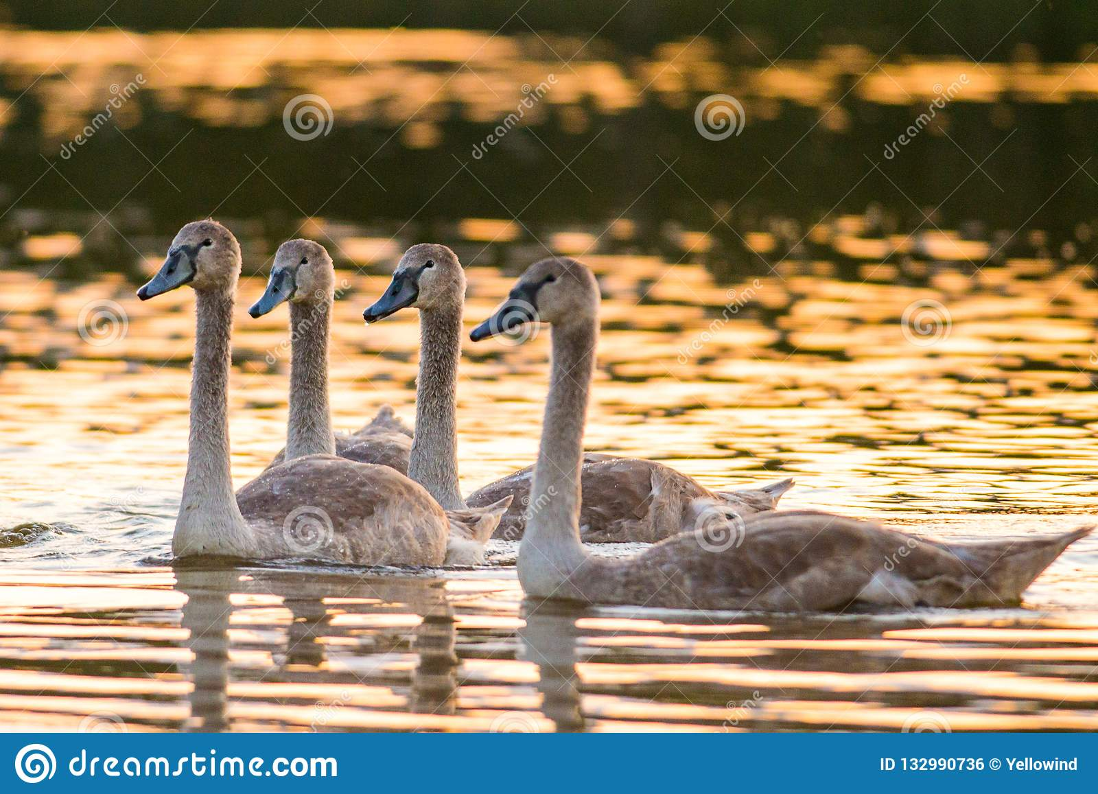 Quatro cisnes mudas novas no lago