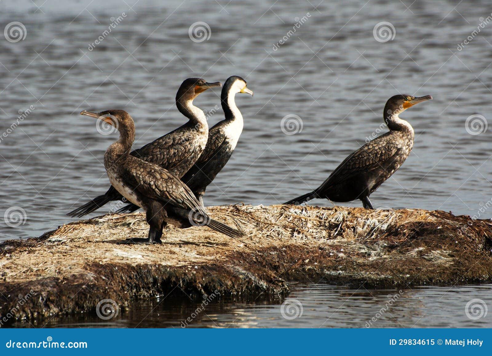 Quatro cormorants em uma ilha pequena