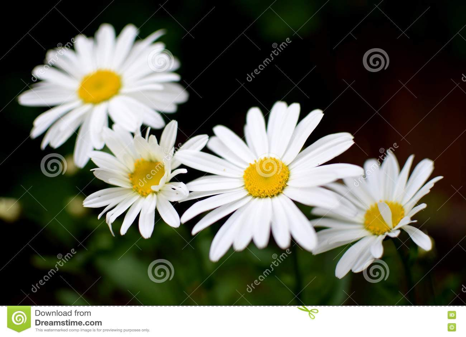 Quatro Daisy Flowers