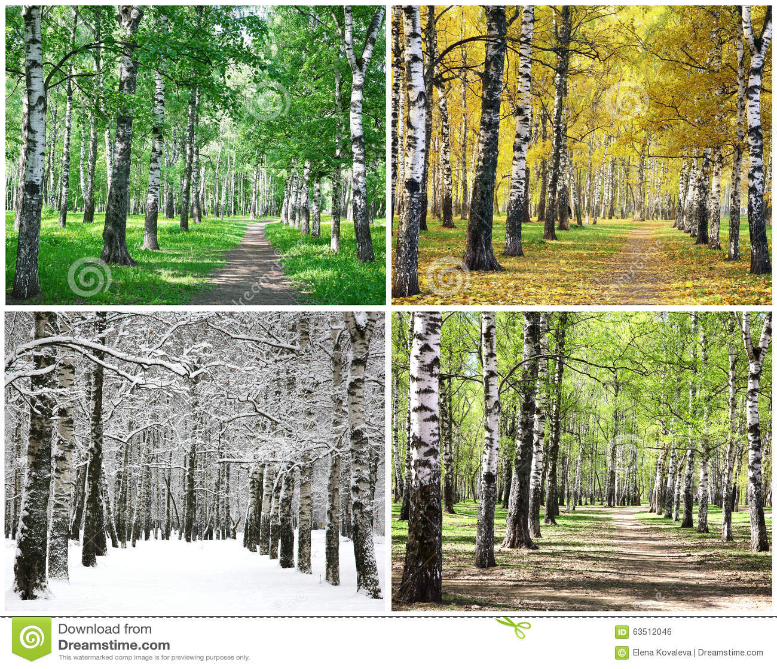 Quatro estações de árvores de vidoeiro da fileira