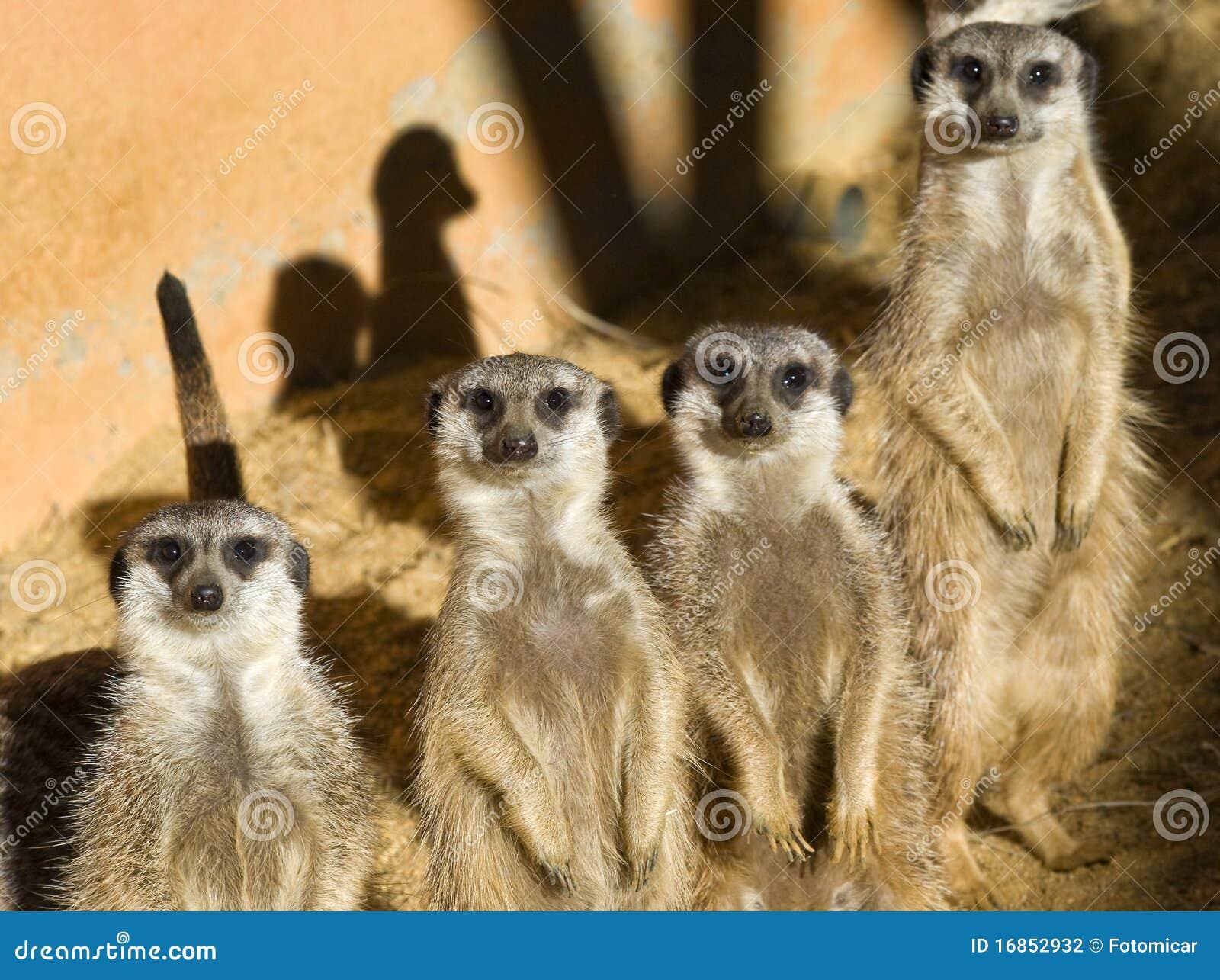 Quatro Meerkats