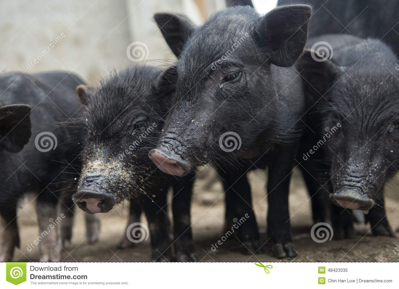Quatro porcos