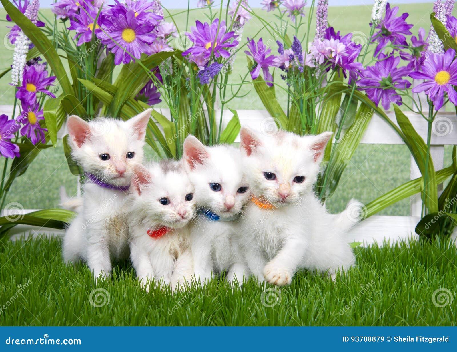 Eccezionale quattro-gattini-bianchi-un-  UJ71