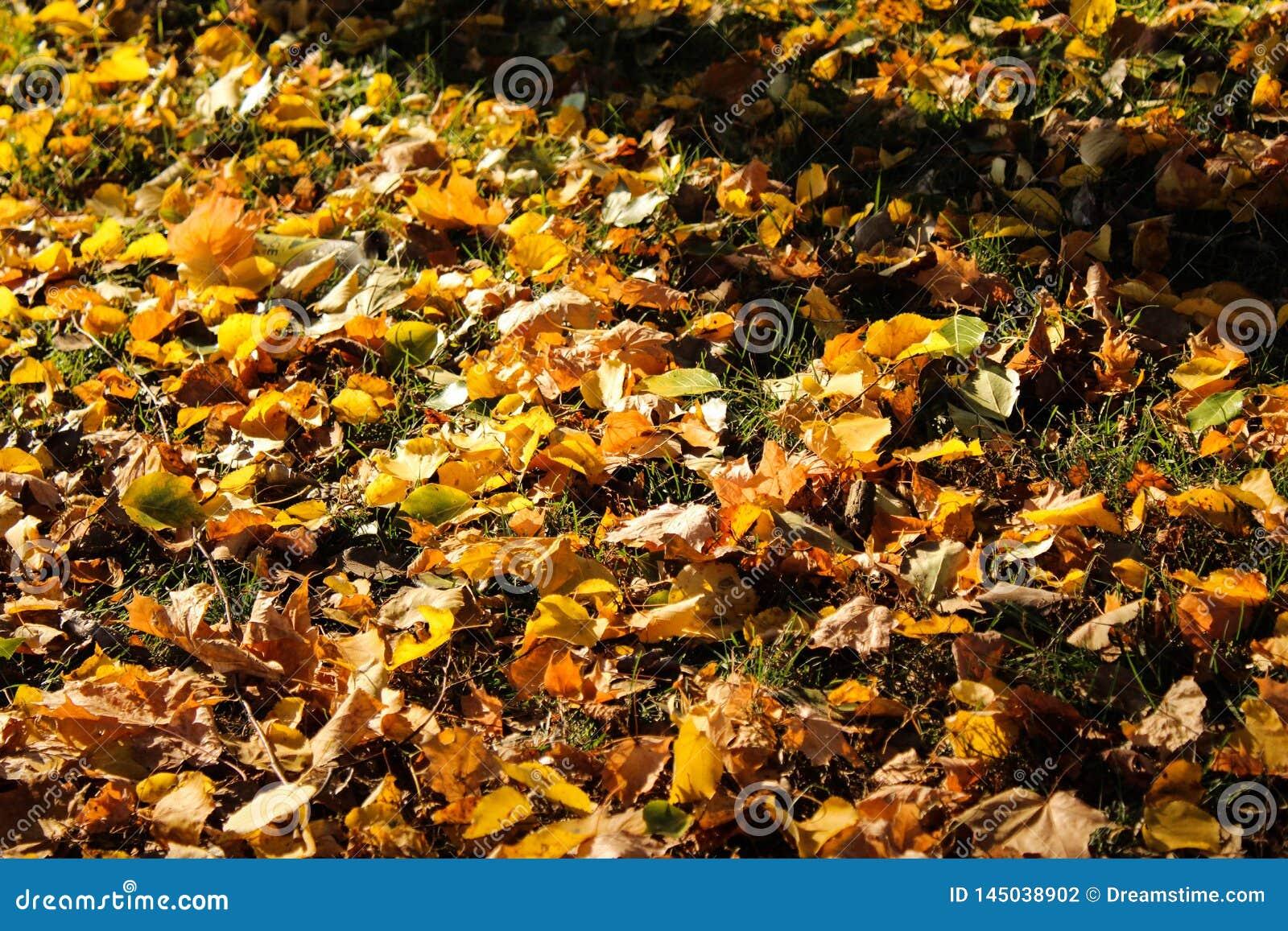 Queda da folha na altura do outono