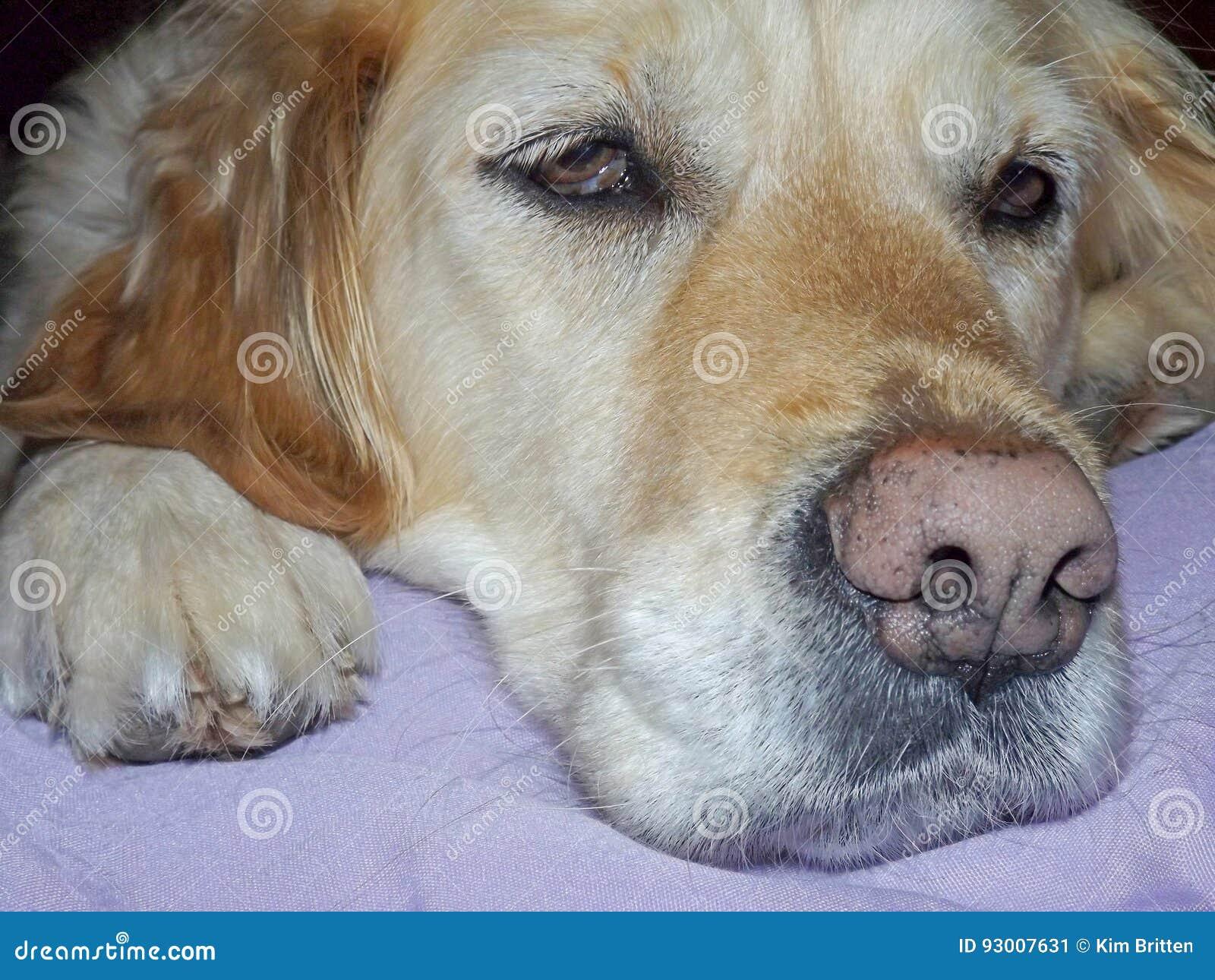 Queda do cão do golden retriever adormecida