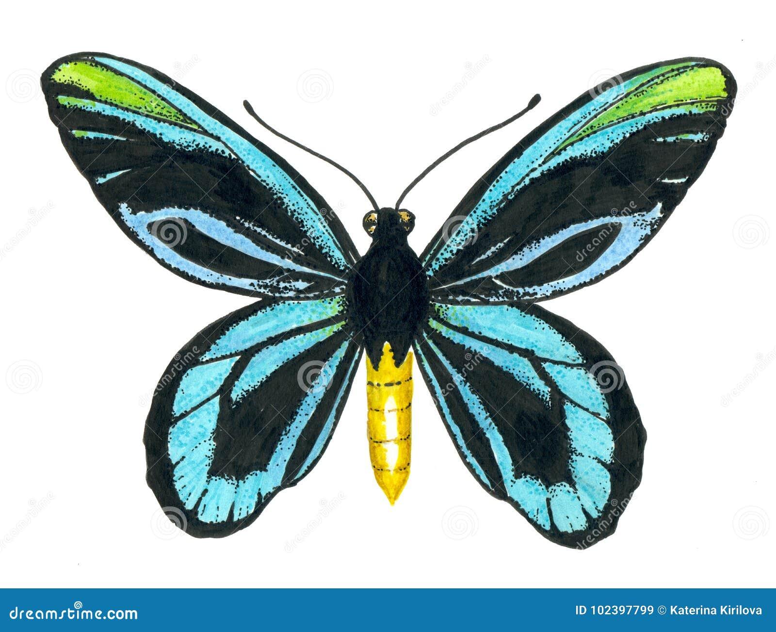 Queen Alexandra` s birdwing butterfly