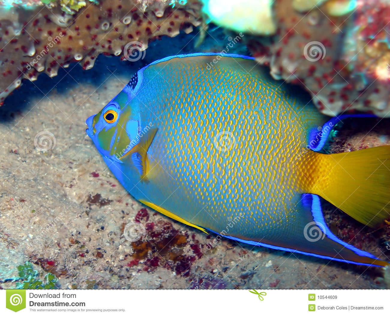 Queen angel fish royalty free stock images image 10544609 for Queen angel fish