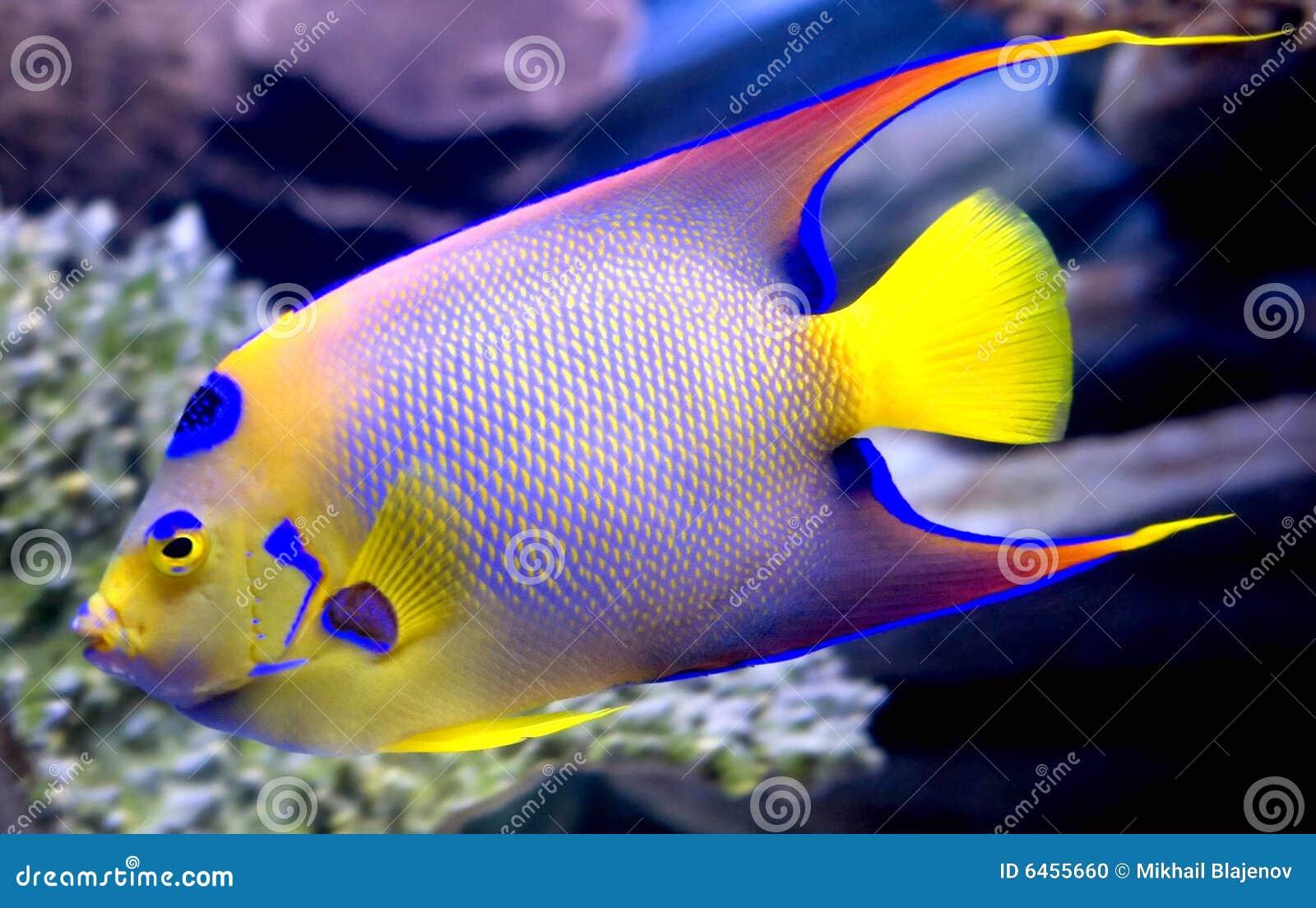 Queen angelfish 2 stock photo image of nature scales for Queen angel fish