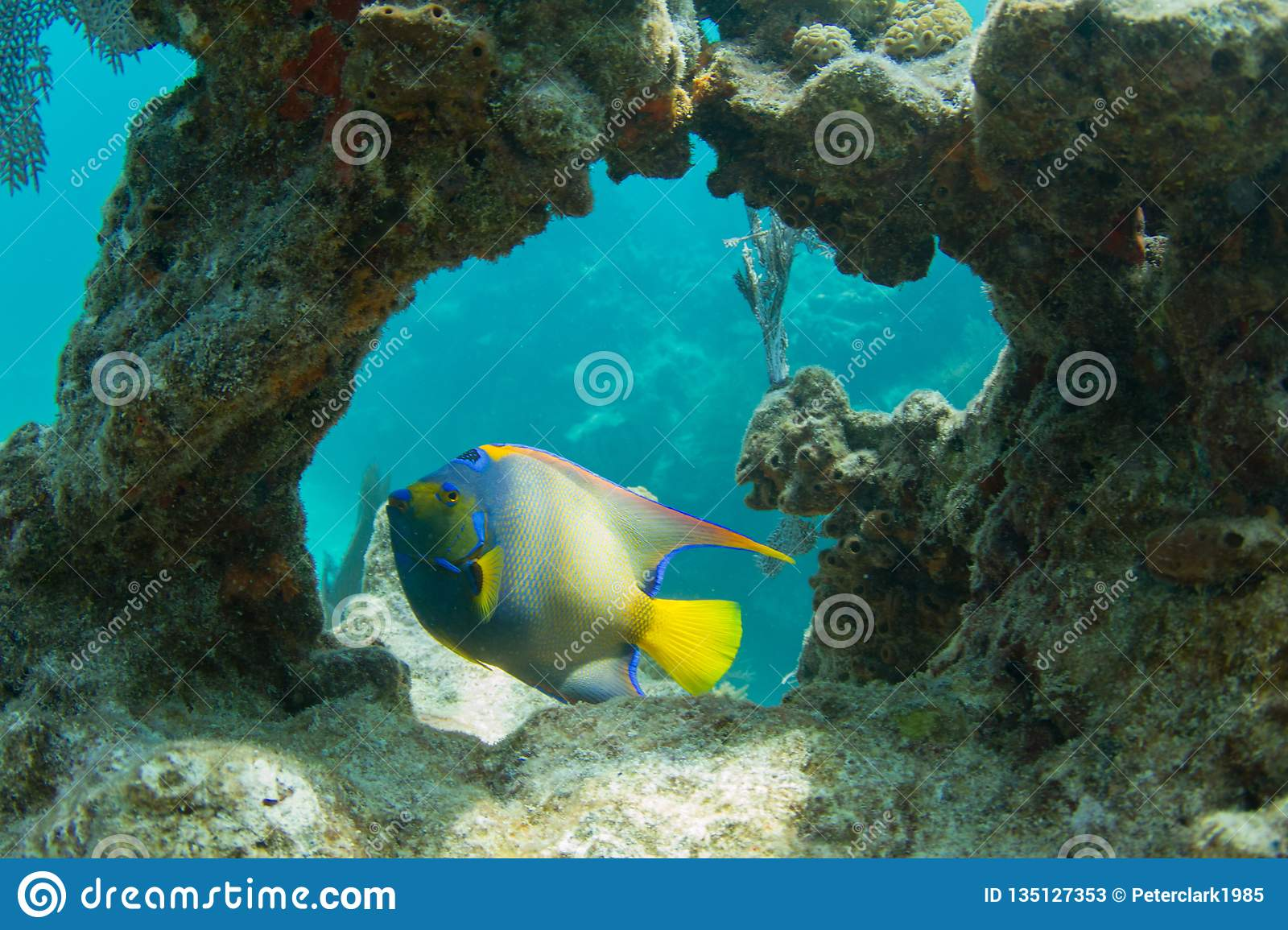 Queen Angelfish through Coral Arch