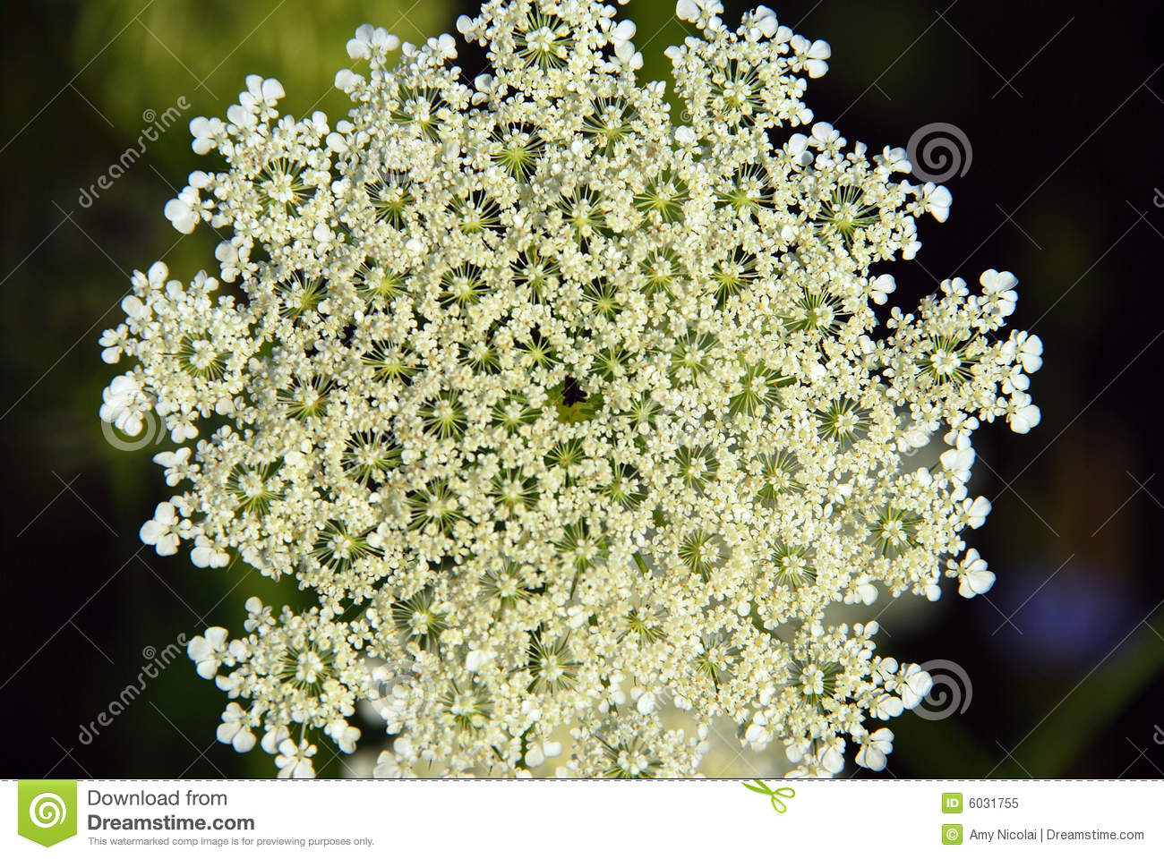 Queen Anne S Lace Flower Royalty Free Stock Photo Image